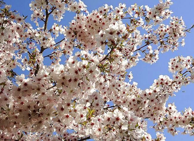 light pink blooms of Prunus incisa 'The Bride'