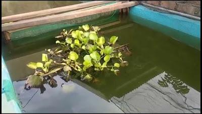 cara mudah pelihara ikan toman di kolam terpal sampai besar