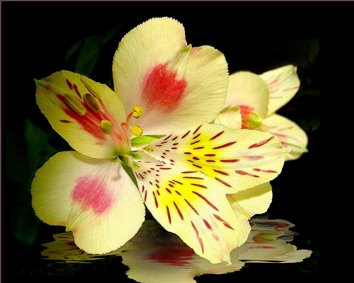 Alstroemeria The Lily Of The Incas Kinds Of Ornamental