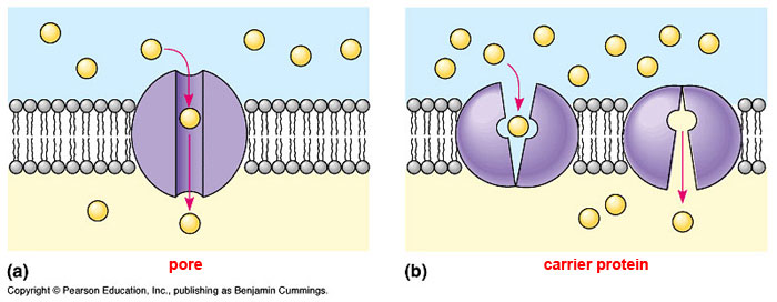 Structural Biochemistry/Membrane Proteins/Passive Transport