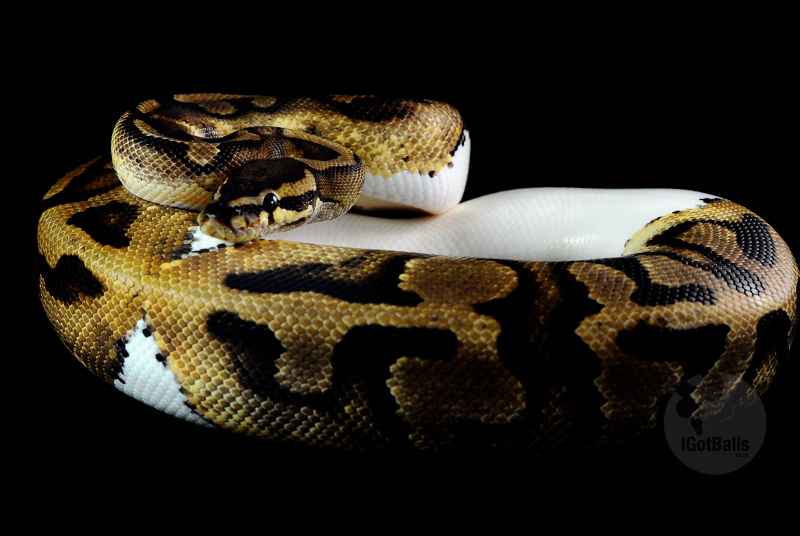 Snakes Eating Cows Snakes: Piebald Ball P...