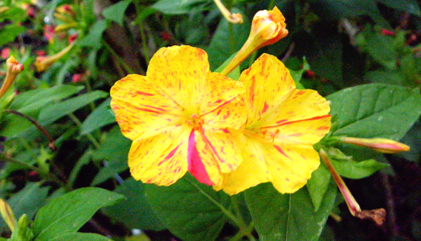 Two variegated flowers, yellow with magenta stripes