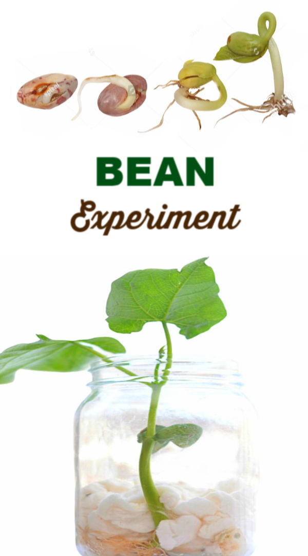 Teach kids all about plants and how they thrive with this easy experiment for kids! #beaninabagexperiment #beaninajar #beanexperimentkids #springcraftsforkids #growingajeweledrose #scienceexperimentskids