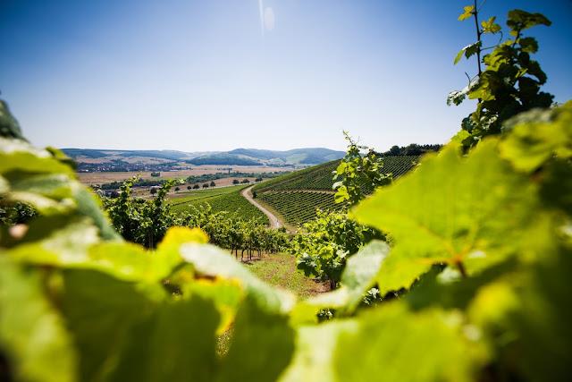 Weinberg vom Wein- und Sektgut Bamberger an der Nahe