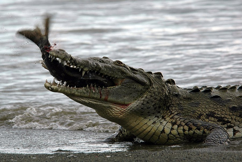 Would A Freshwater Croc Eat A Dog
