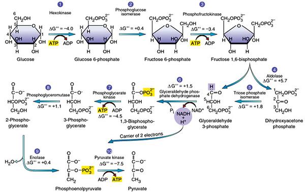 Proses Glikolisis Secara Singkatdan Penjelasannya