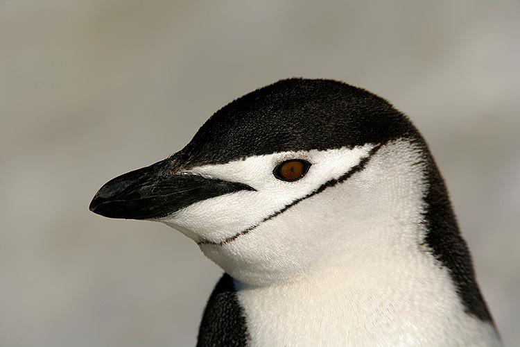 Penguin-Chinstrap