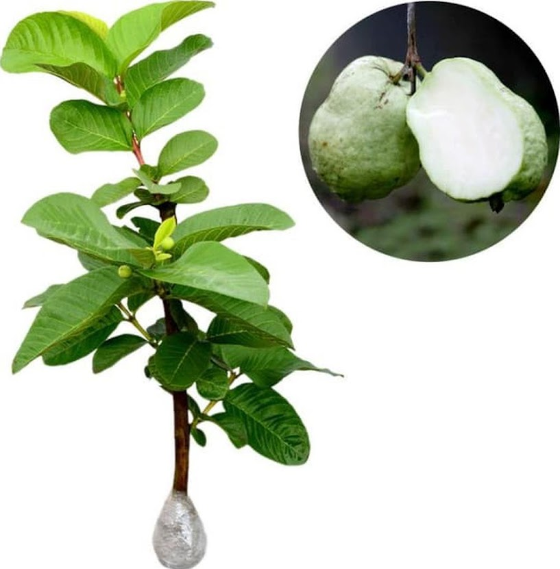 Bibit tanaman buah jambu sukun putih 60 cm Jawa Timur