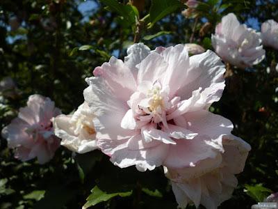 秋のピンクの花
