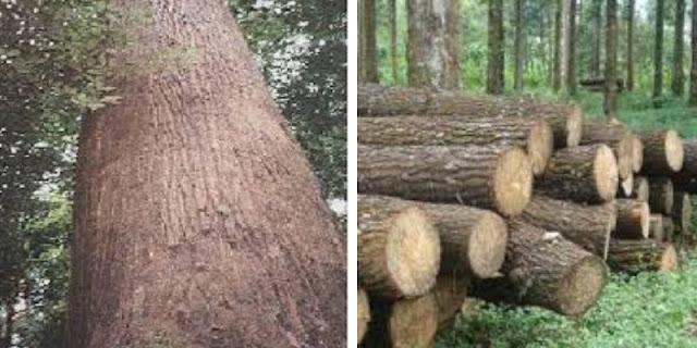 pohon kayu ulin