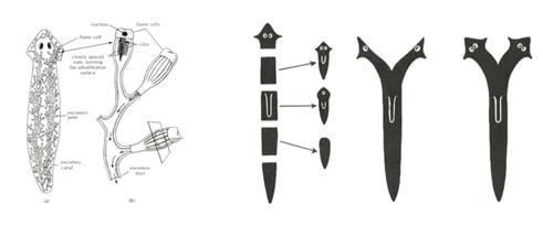 Gambar   Struktur dan regenerasi pada Planaria