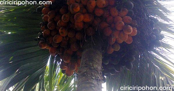 ciri ciri pohon pinang betara