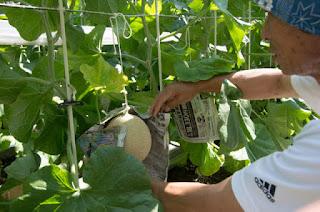 Sejarah Perkembangan Crown Melon di Jepang