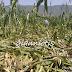 """""""SOS"""" από τους καλλιεργητές καλαμποκιού στον κάμπο της Λαψίστας Ιωαννίνων !!"""