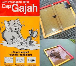 Cara Membunuh tikus dirumah dan tokoh dengan lem tikus