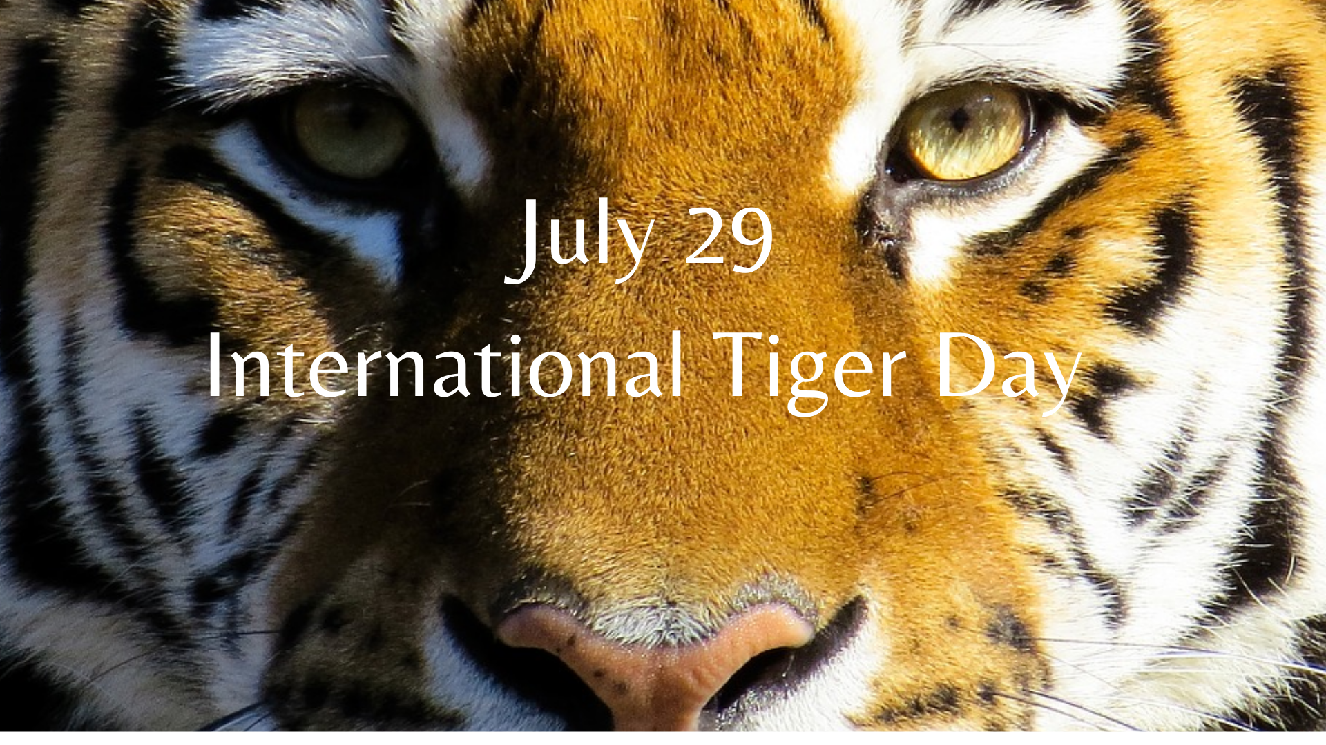 July 29 International Tiger Day  | Global Tiger Day