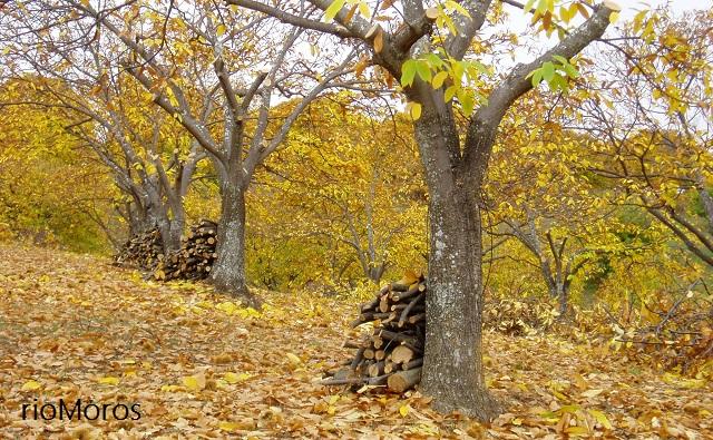 CASTAÑO en otoño Castanea sativa