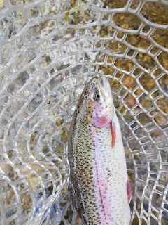 Swift River Ma Rainbow Trout