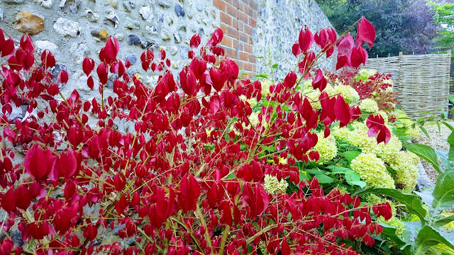 Euonymus alatus displaying red autumn colour against a sussex flint wall