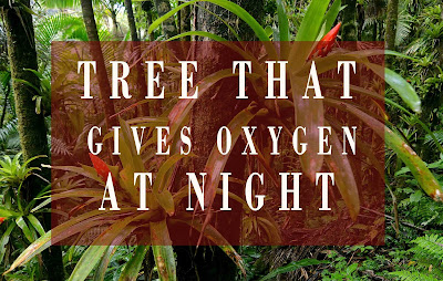 Which Tree Give Oxygen At Night |