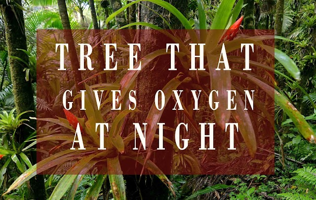 Which Tree Give Oxygen At Night | 2020 Updates