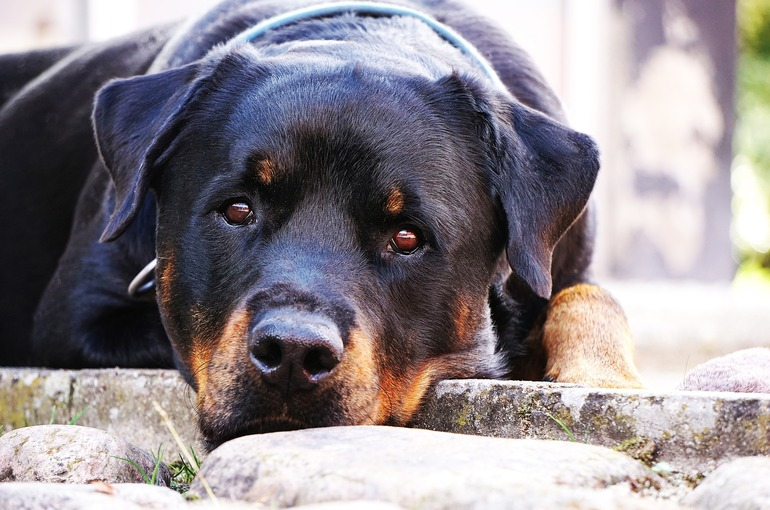 Personality of  Rottweiler