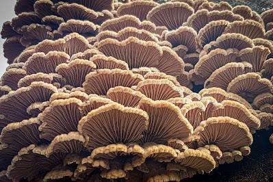 Buy Splitgill Mushroom Online