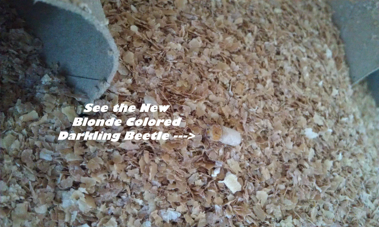 Backyard Chicken Lady thinking out loud: I'm Raising Mealworms ~ Gross, Yet So Fascinating!