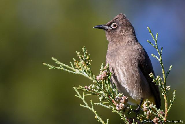 Cape Bulbul Bird Perched Kirstenbosch Garden Cape Town Vernon Chalmers Photography