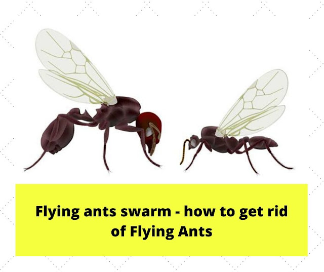 Flying ants swarm - how to get rid of Flying Ants