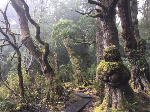 Our holidays in Tasmania, walking in the woods around Cradle Mountain