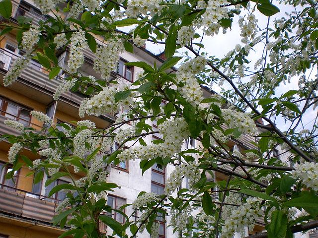 Белая черемуха за окном цветет, смотреть нарезка камшоты
