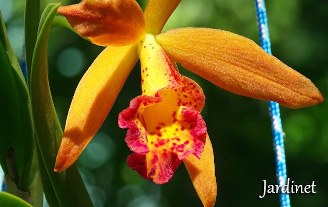 Brassavola orquídea