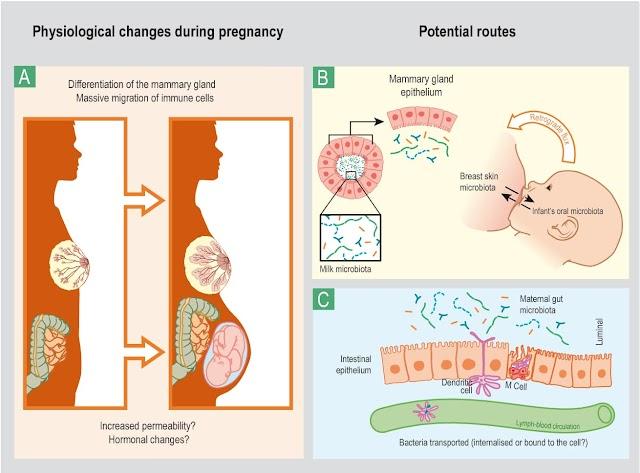 親餵可以讓媽媽乳房更健康,不容易發生乳腺炎?
