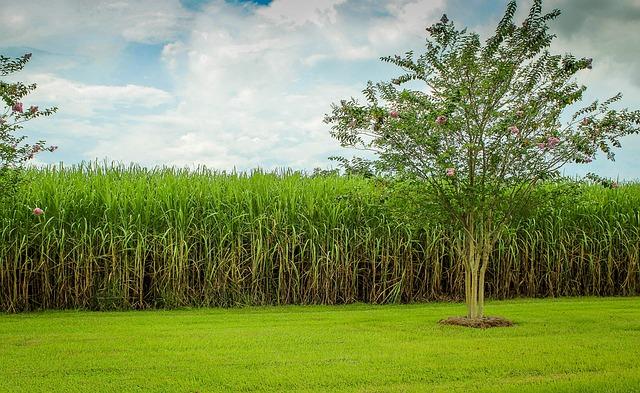 sugarcane rate