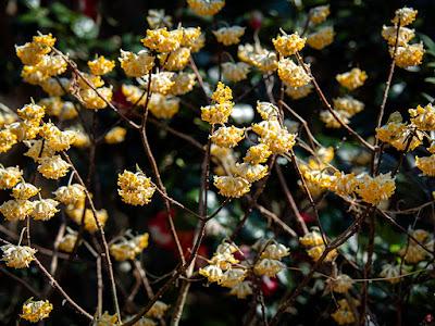 Mitumata (Edgeworthia chrysantha) flowers: Engaku-ji