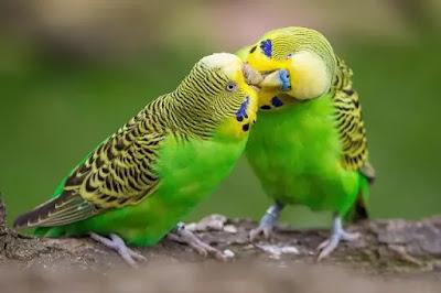 أسس نجاح تربية طيور البادجي ( الأسترالي ) أدوية مهمة و تجهيز الطيور لإنتاج ناجح
