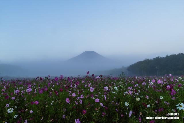 朝靄に浮かぶ富士山とコスモス