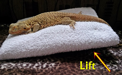 Bearded dragon respiratory Infection (RI)