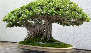 gambar bonsai beringin lokal