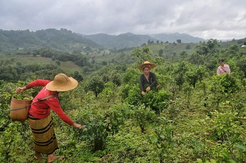 ေအာင္ၿငိမ္းခ်မ္း (Myanmar Now) ● နတ္သစ္ရြက္ ေမြးဖြားရာေဒသ (ဓာတ္ပံုအက္ေဆး)