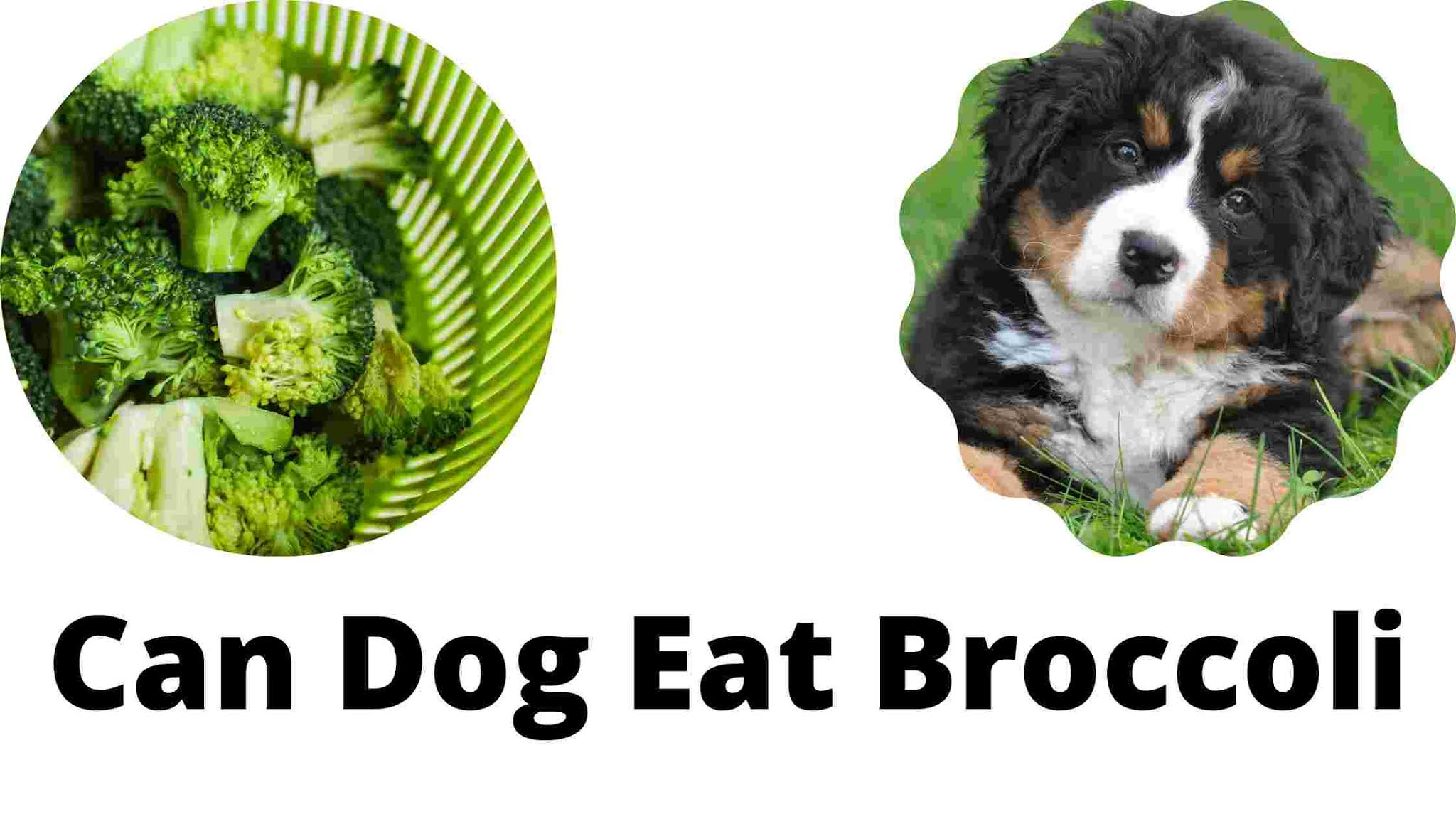 Can Dog Eat Broccoli