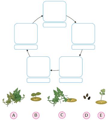 lengkapi daur hidup tanaman semangka www.simplenews.me