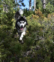 Ullr the Husky Pup leaping through evergreen ground cover.