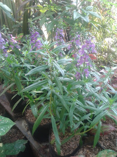 Pohon lavender