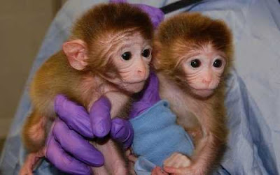 Cloning of Monkeys