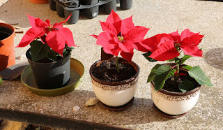 Lovely Christmassy plants in nice pots