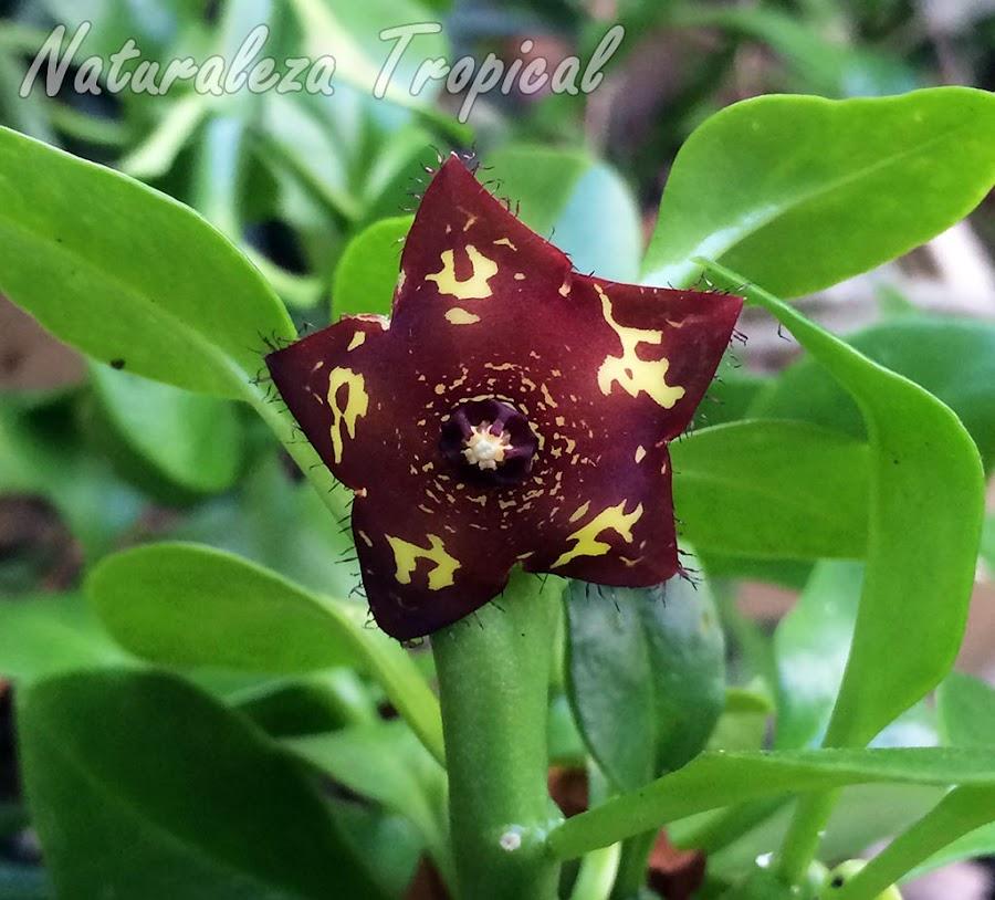 Flor típica de la planta suculenta Frerea indica