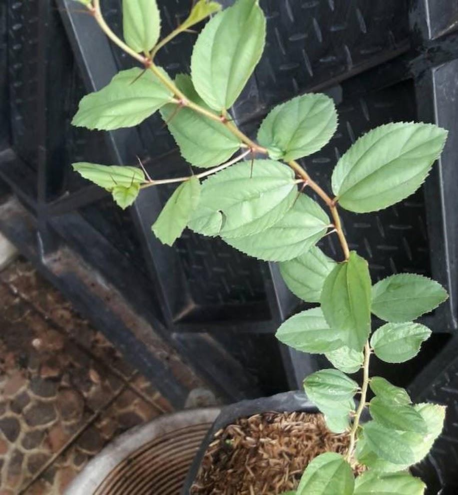 Bibit Pohon Daun Bidara Arab Sidr Utk Ruqyah Bibit Bidara Pohon Bidara Tinggi sekitar 30cm Sorong