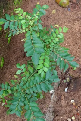 Nutritional Content Of Curry Leaves (Kadi Patta